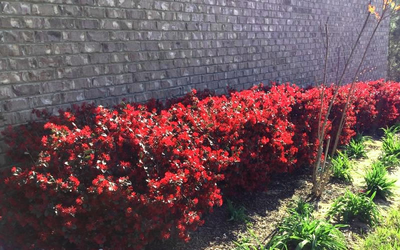 Buy Ever Red Loropetalum Shrubs For Sale Online From