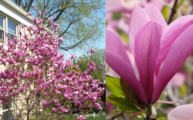 Buy jane magnolia tulip tree for sale online from wilson for Trees garden of jane delawney blogspot