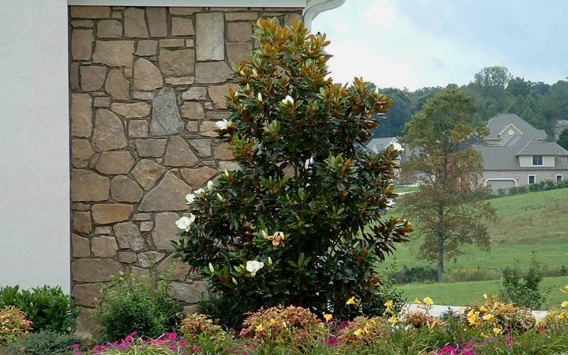Buy little gem magnolia for sale online from wilson bros gardens little gem dwarf southern magnolia hover to zoom add sciox Gallery