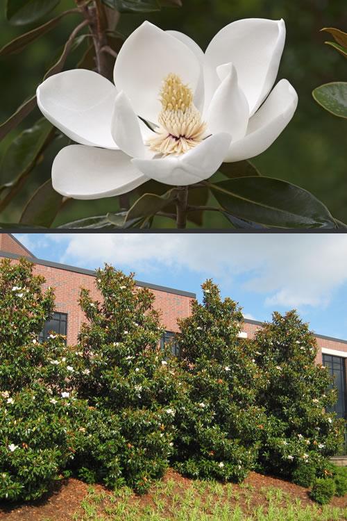 Buy little gem magnolia for sale online from wilson bros gardens little gem dwarf southern magnolia sciox Gallery