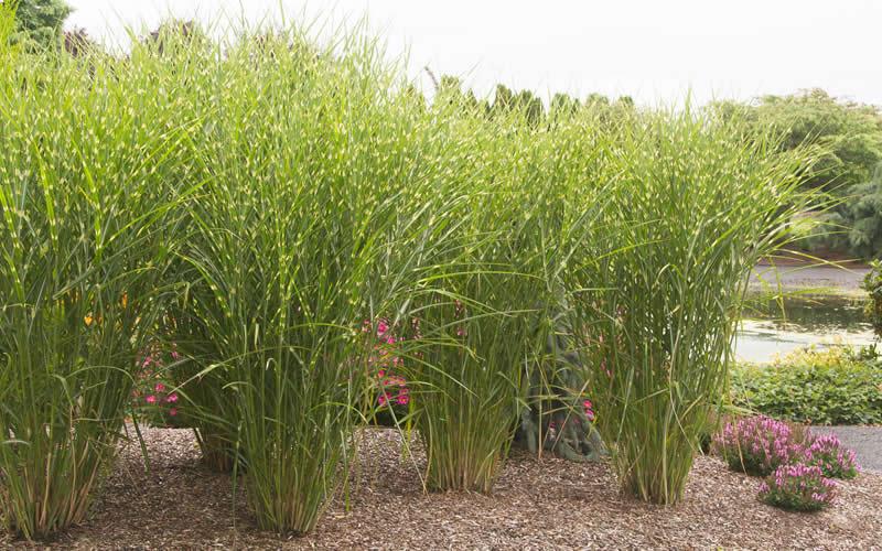 porcupine grass hedge images. Black Bedroom Furniture Sets. Home Design Ideas