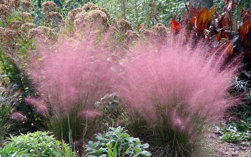 Pink muhly grass for Red perennial grass