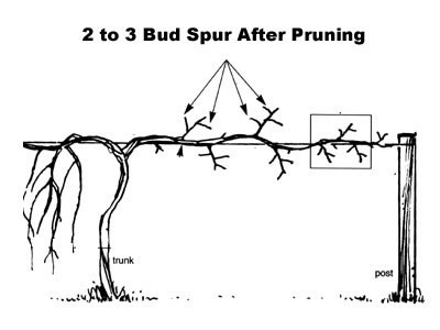 How to prune and train a muscadine vine wilson bros gardens - How to prune and train the grapevine ...