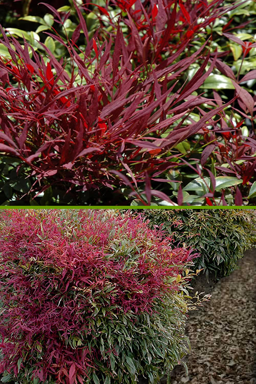 Buy burgundy wine dwarf nandina for sale online from for Pianta nandina