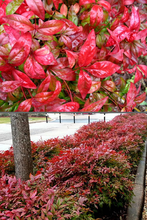 Buy Firepower Dwarf Nandina For Sale Online From Wilson ... Nandina Domestica Firepower