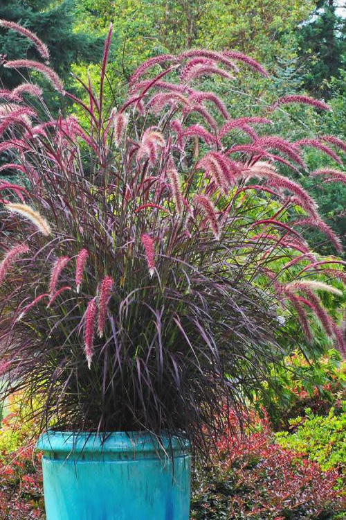 Buy purple fountain grass pennisetum rubrum for sale for Ornamental grass with purple flowers