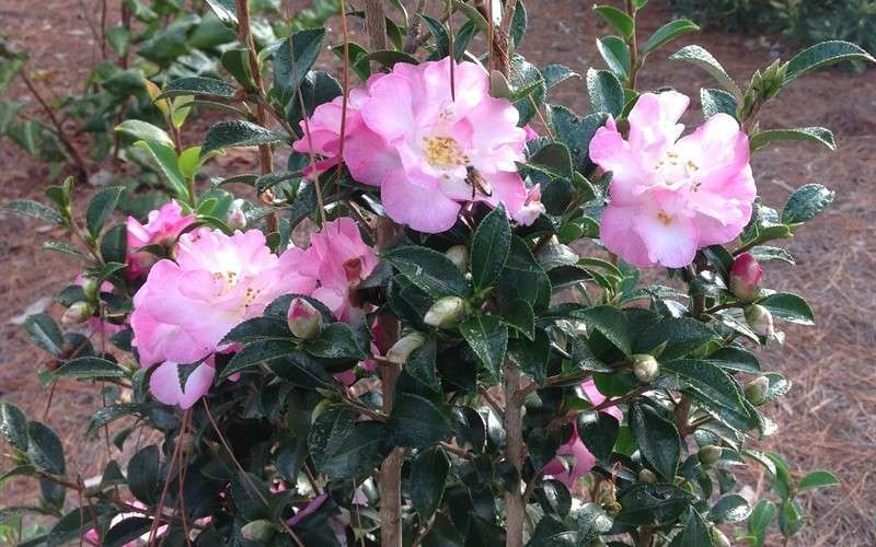 Buy October Magic Orchid Camellia For Sale Online From