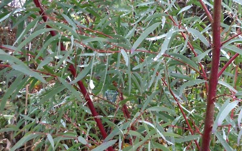 List Of Synonyms And Antonyms Of The Word: Eucalyptus Shrub