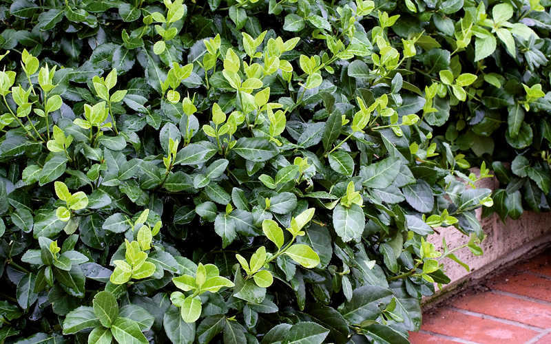buy purple wintercreeper euonymus fortunei coloratus for