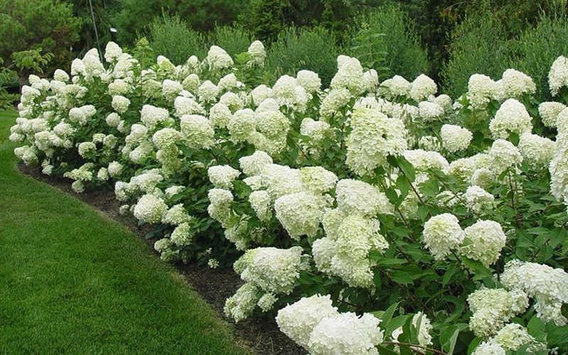 with its huge 8 to 12inch snow coneshaped flower clusters limelight hydrangea puts on a spectacular show of color in the garden midsummer through - Hydrangea
