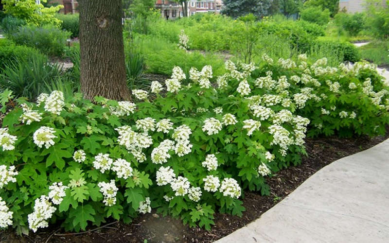 Green Bush With White Flowers