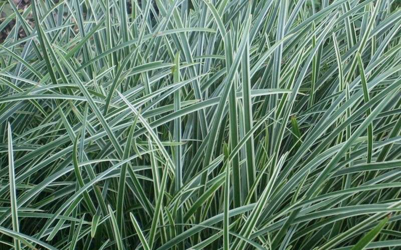 buy carex ice dance sedge grass for sale online from wilson bros gardens. Black Bedroom Furniture Sets. Home Design Ideas