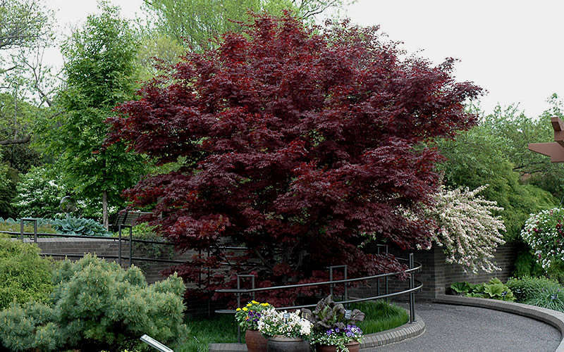 Buy bloodgood japanese maple tree for sale online from for Maple trees for sale