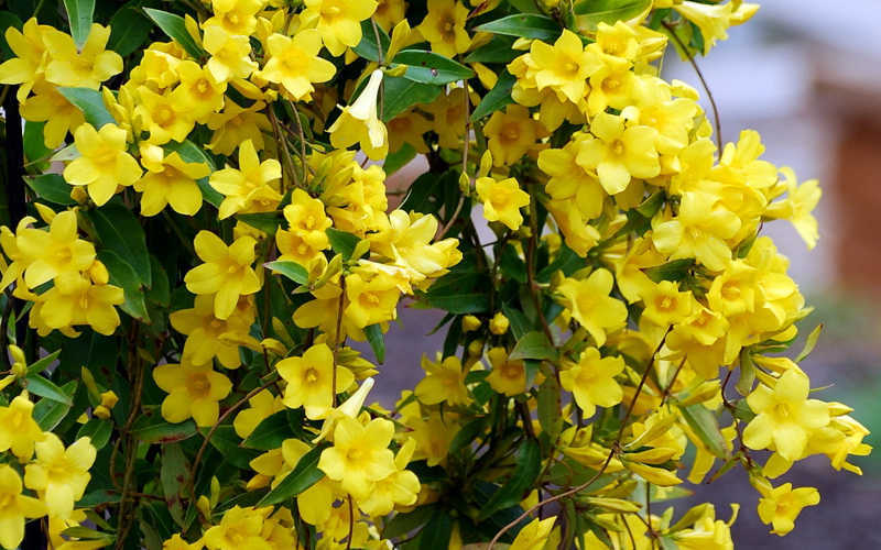buy yellow carolina jasmine vine for sale online from wilson bros, Beautiful flower