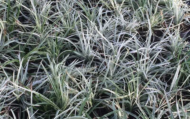 buy silver dragon liriope lilyturf for sale online from