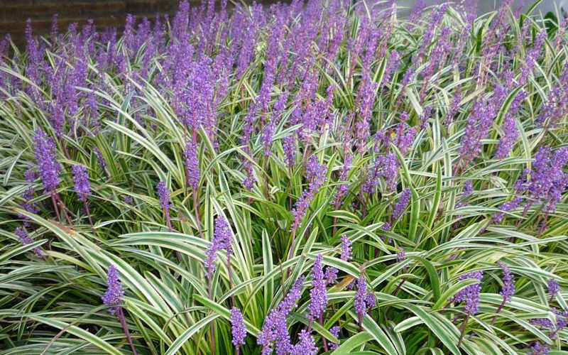 Buy variegated liriope lilyturf for sale online from for Variegated grass plant