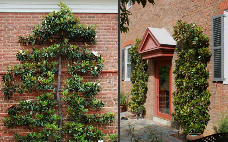 Buy little gem magnolia for sale online from wilson bros gardens little gem dwarf southern magnolia hover to zoom sciox Gallery