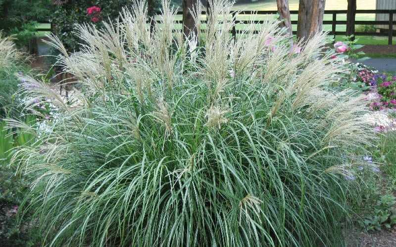 Buy dwarf maiden grass miscanthus adagio for sale online for Best tall grasses