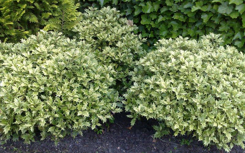Buy goshiki osmanthus variegated false holly online from wilson bros