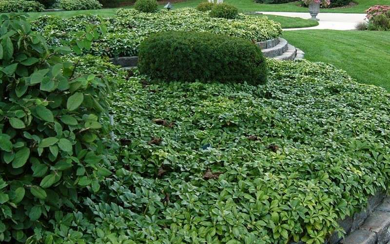 buy pachysandra japanese spurge for sale online from. Black Bedroom Furniture Sets. Home Design Ideas