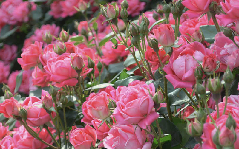 georgia peach is an exceptionally low maintance shrub rose that produces an abundance of gorgeous double peachy pink blossoms starting in mid spring and