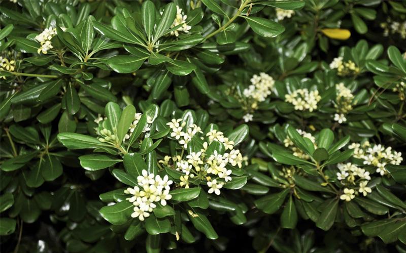 buy green pittosporum tobira for sale online from wilson