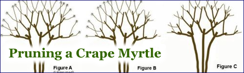 How do you care for a crape myrtle tree?