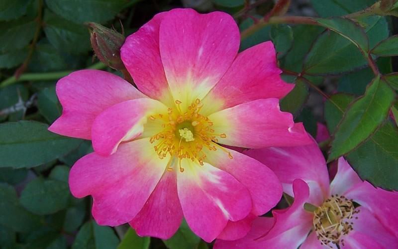 Buy Pink Drift Groundcover Rose For Sale Online From