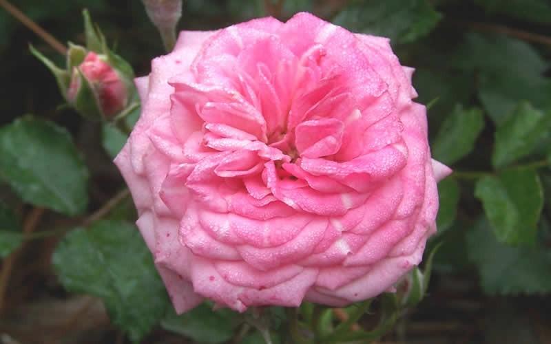 Buy Sweet Drift Dwarf Groundcover Rose For Sale Online