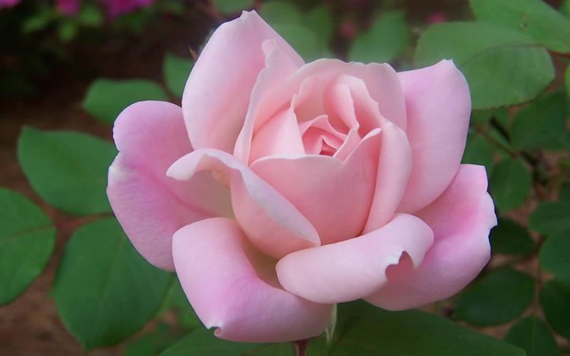 Home > Roses > All Roses > Georgia Peach™ Shrub Rose
