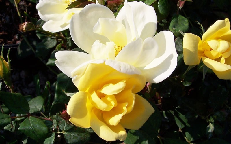 Roses In Garden: Sunny Knock Yellow Out Rose