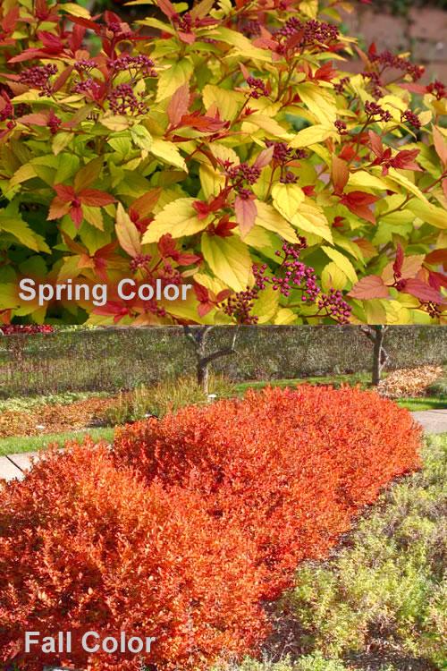 Buy Magic Carpet Japanese Spirea Plants For Sale Online