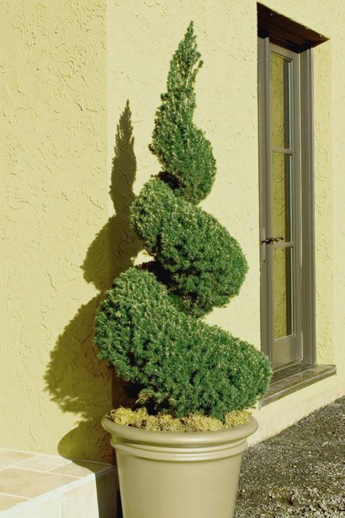 Live Topiary Part - 26: Home U003e SHOP PLANTS U0026 TREES U003e LIVE TOPIARY PLANTS U003e Spiral Dwarf Alberta  Spruce - Topiary