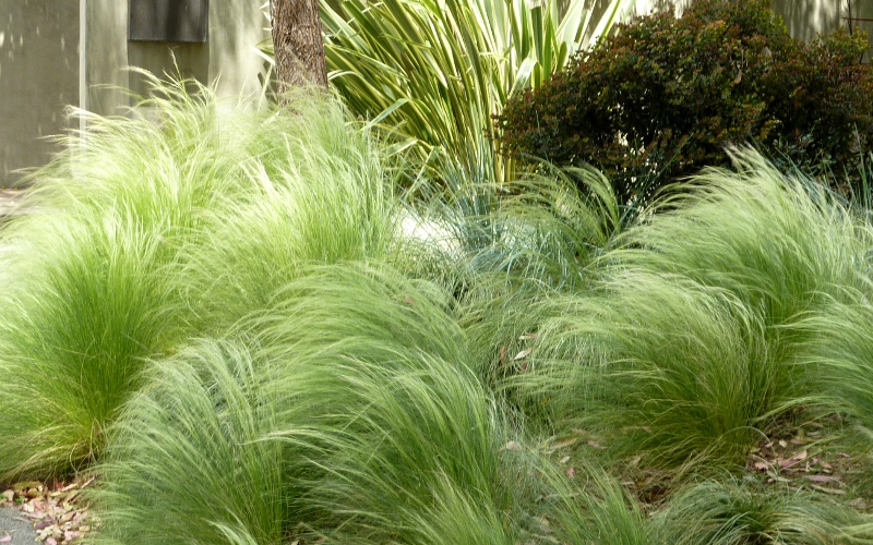 Pony tails grass mexican feather grass for Ornamental feather grass