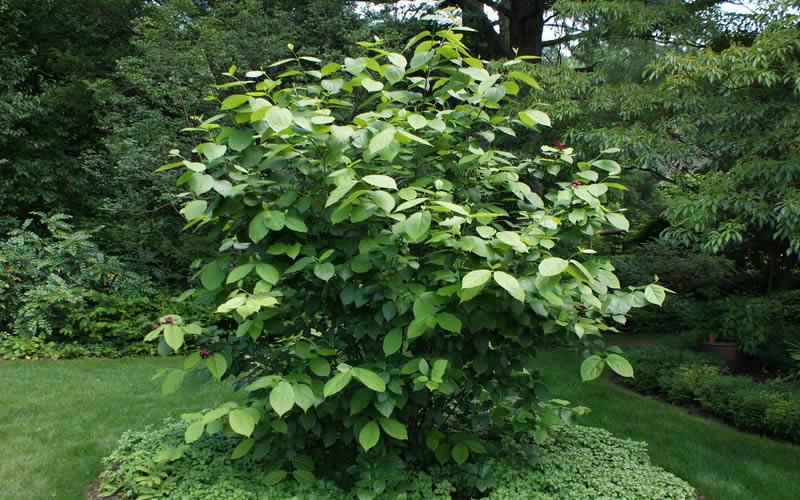 Home gt shrubs gt summer color shrubs gt aphrodite sweetshrub carolina