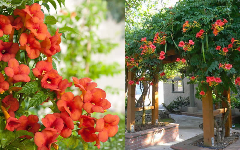 buy madame galen trumpet vine for sale online from wilson bros gardens. Black Bedroom Furniture Sets. Home Design Ideas
