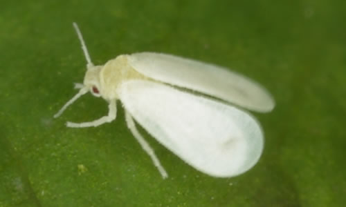 how to kill amp prevent whiteflies on plants from the