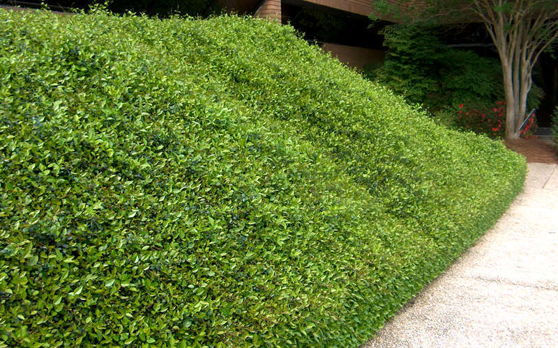 Buy Asian Or Asiatic Jasmine For Sale Online From Wilson