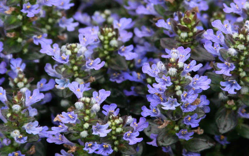 buy chocolate chip ajuga for sale online from wilson bros gardens, Natural flower