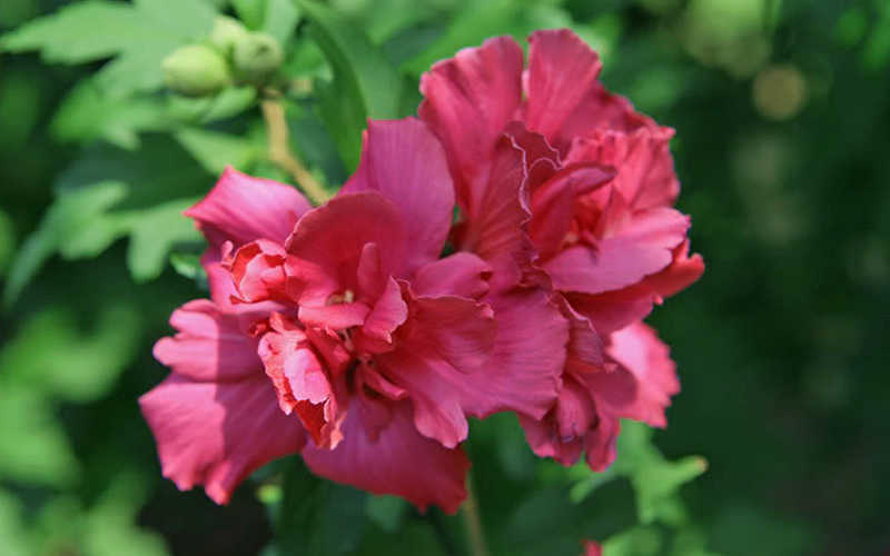 Buy Lucy Rose Of Sharon Hibisucs Online From Wilson Bros