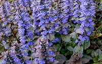 Bronze Beauty Ajuga - Bugleweed