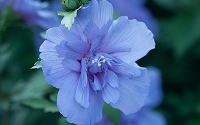 Blue Chiffon Rose of Sharon - Hibiscus - Althea