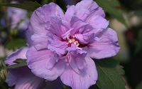 Purple Rose of Sharon - Hibisucs - Althea