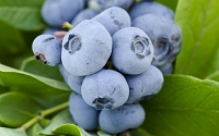Woodard Rabbiteye Blueberry
