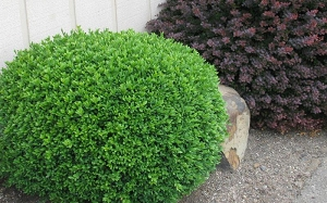 Green Beauty Japanese Boxwood