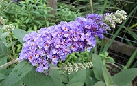 Lo & Behold ® Blue Chip Dwarf Butterfly Bush