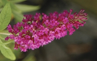 Buddleia Buzz Magenta Dwarf Butterfly Bush