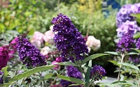 Buddleia Buzz Midnight Dwarf Butterfly Bush