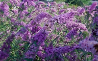 Nanho Purple Butterfly Bush - Buddleia