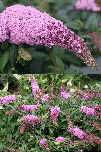 Pugster Pink Butterfly Bush - Buddleia